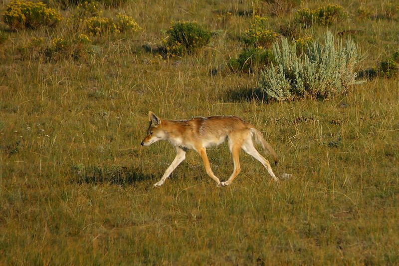 Coyote 200