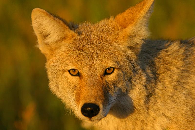 Coyote10