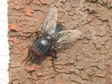 The common House Fly