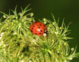 03673 Ladybug Beetle