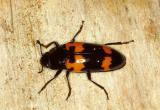 12228 Pleasing Fungus Beetle