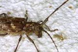 12589 Tiger Beetle?