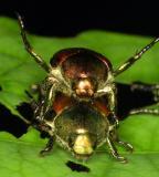 14586 Japanese Beetles, mating