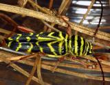 15416 Locust Borer
