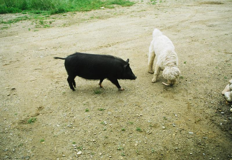 Gertie the Pig playing with the dogs