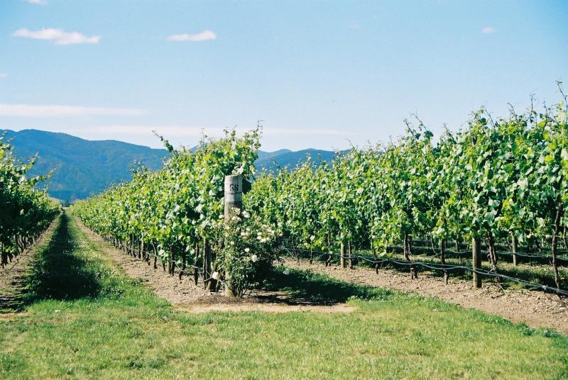 The mighty Blenheim Vines