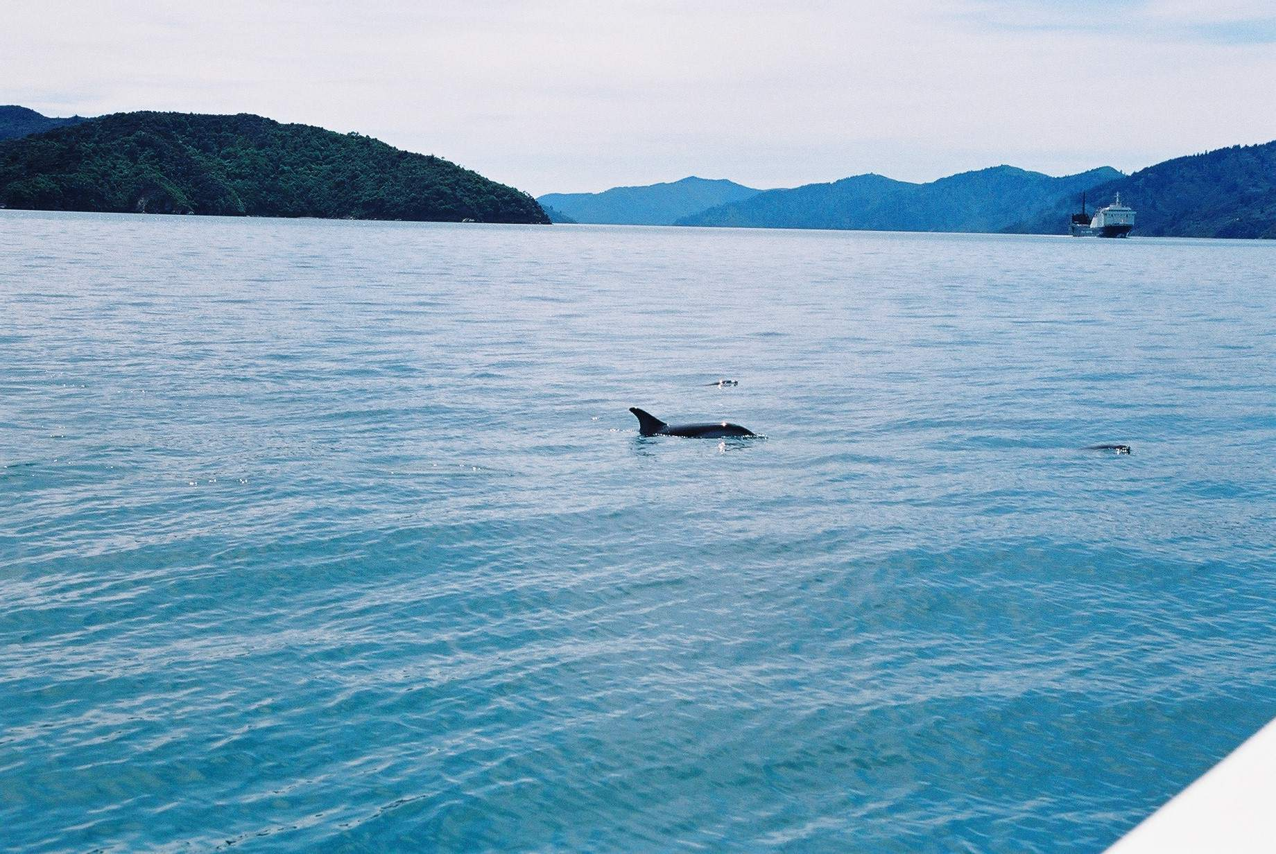 Dolphin sighting on the boat ride to the Queen Charlotte Track