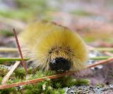 Yellow caterpillar 1