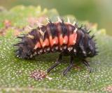 larva-2.jpg