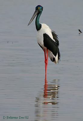 Black-necked-Stork.jpg