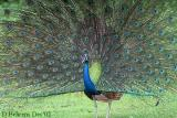 Indian-Peafowl-strutting-2.jpg