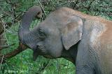 Asian-Elephant.jpg