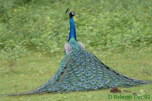 Indian-Peafowl-strutting-3.jpg