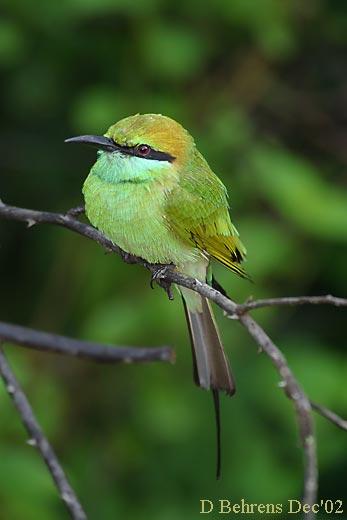 Little-Green-Bee-eater-2.jpg