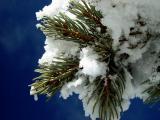 Snow on Branch Blue Sky DSC07666 Resized.jpg