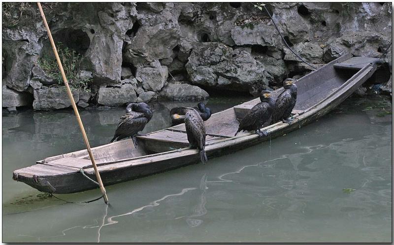 Working Great Cormorants