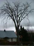 Spooky Elm