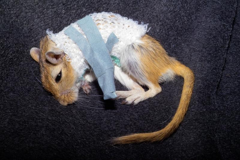 Kangaroo mouse with broken leg