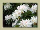 Rhododendrum