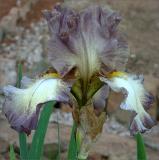 Grey bearded iris