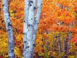 Arrowhead Birches1