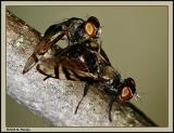 Picture winged flies mating