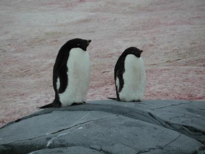 Cute adelie penguins