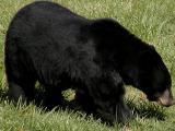 Illinois Black Bear.jpg(530)