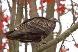 Turkey Vulture Juvenile