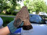 Hawk_Pickup-06 Kretrel 8-10-04.jpg