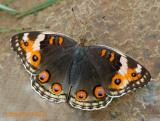 Blue Pansy (Female) - With Nikon D70