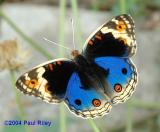 Blue Pansy (Male) - With Nikon D70
