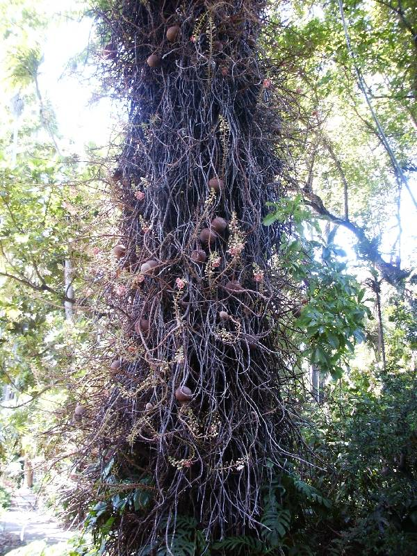 Cannonball tree (Couroupita guianensis)
