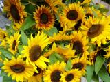 418-Season for Sunflowers