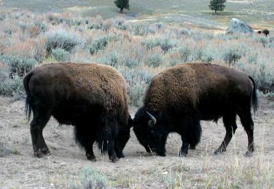 Bison 45