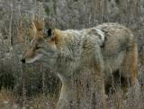 Coyote 170