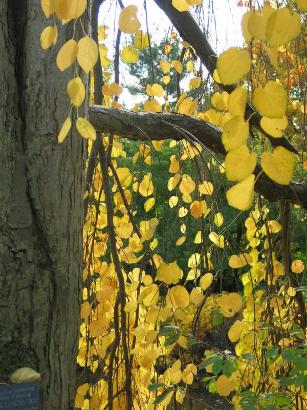 Weeping Katsuura Tree, Autumn