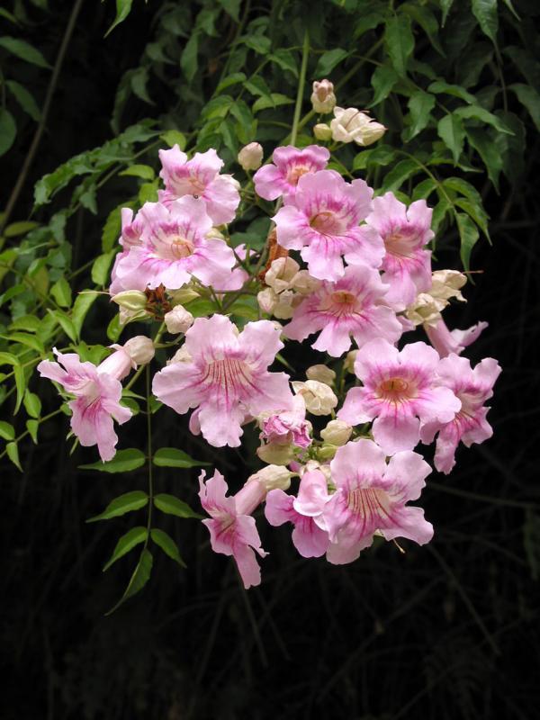 Flowering tree, Seville