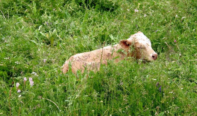 Calf in the field