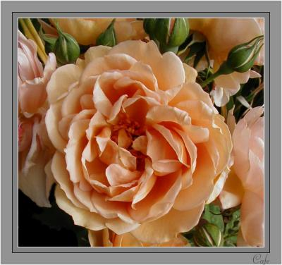 3 -  Spring Roses Down Under - 2004 GALLERY