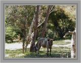 Fawn calf