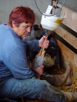 Force feeding a goose