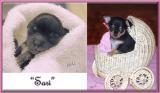 Sari : a Brite Star Chihuahua puppy growing up