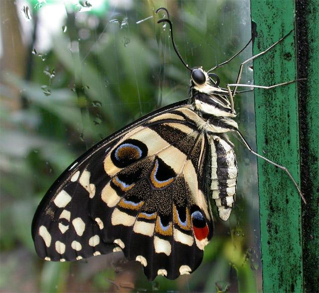 Lime Swallowtail #3