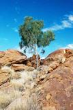 lonely tree- Outback Australia