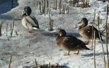 Wild ducks in Helsinki, Finland