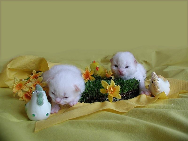 Nasu & Putte, colorpoint Siberians, wish you a Happy Easter!