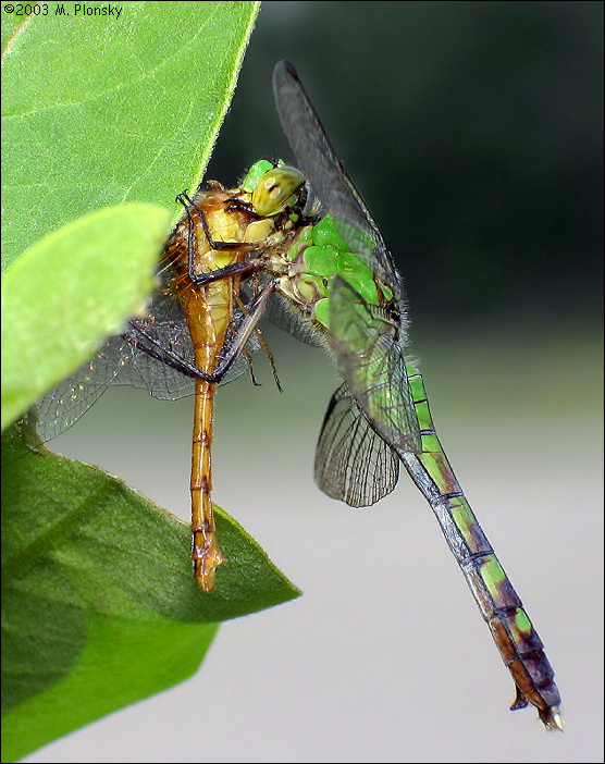 Erythemis simplicicollis female with meadowhawk prey