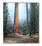 Misty MorningSequoia Nat'l Park, CA