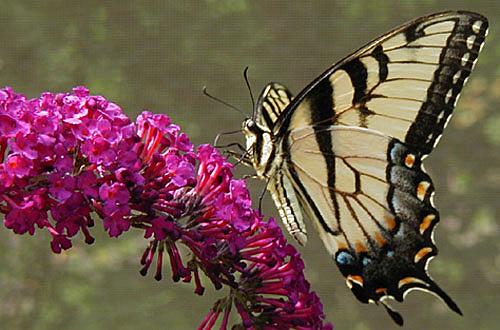 Eastern  Tiger Swallowtail on Buddleia